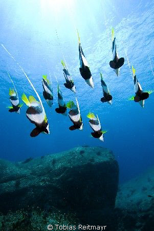 Bannerfish free falling, Elephant Head Rock, Similan Isla... by Tobias Reitmayr