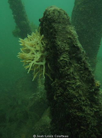 """""""Flowered Tomb""""       A freshwater sponge grows on an anc... by Jean-Louis Courteau"""