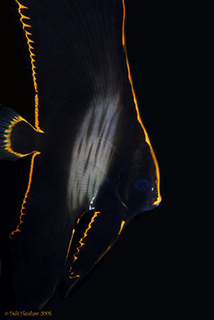 """Rim of Fire"" Juv. Batfish taken under DuCoMil Pier :o) by Debi Henshaw"