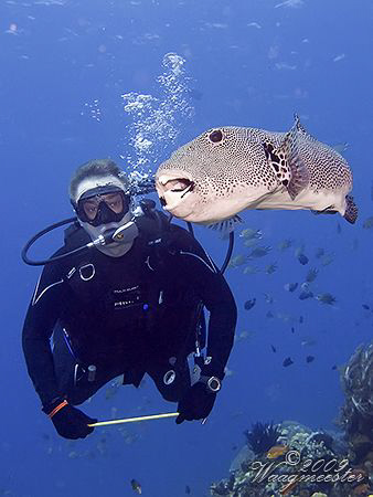 Diver and Big Puffer-fish - Crystal Rock, Gili Lawa (Cano... by Marco Waagmeester