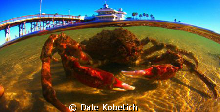 LARGE spider crab in one foot deopth at newport pier...wi... by Dale Kobetich