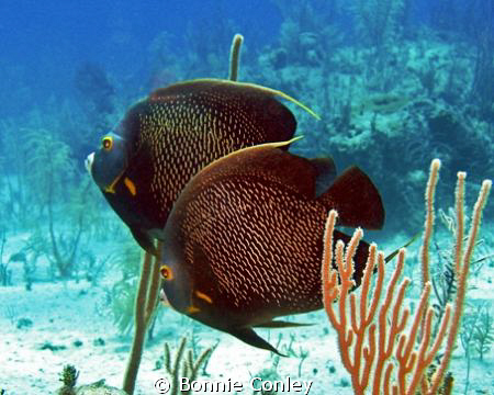 French Angelfish pair seen May 2009 in Grand Bahamas.  Ph... by Bonnie Conley