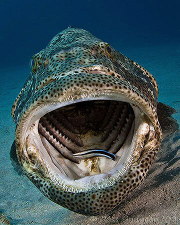 Estuarine Cod and Cleaner Wrasse. Ningaloo Reef, Western ... by Ross Gudgeon