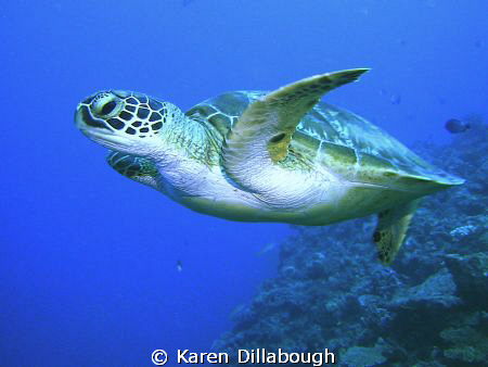 Turtle in the Coral Sea. by Karen Dillabough