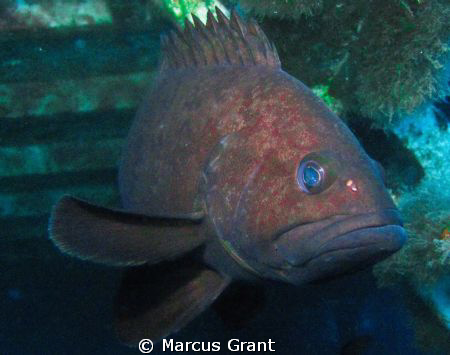Large Grouper taken on the Wreck of MV Kawella, Gozo, Malta. by Marcus Grant