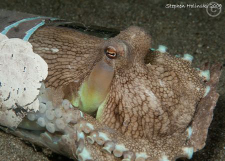 Octopus in a cup. One of many in Anilao. Canon G10, Inon ... by Stephen Holinski