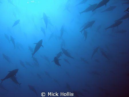 shoal of tuna by Mick Hollis