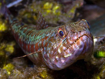 Lizardfish. East of Dili, East Timor. by Doug Anderson
