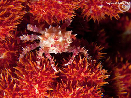 Soft Coral Crab in Anilao...lots of photographers behind ... by Stephen Holinski