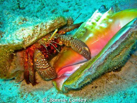 Hermit Crab with Conch shell in Grand Bahamas.  Photo tak... by Bonnie Conley