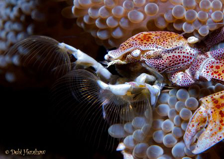 """Gone Fishin'"" Porcelain Crab doing what he does best = f... by Debi Henshaw"