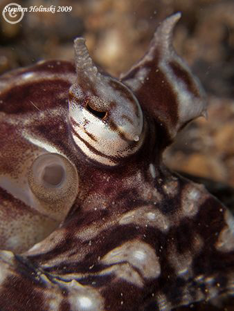 Mimic Octopus portrait.  Canon G10, 2xInon closeup lenses... by Stephen Holinski