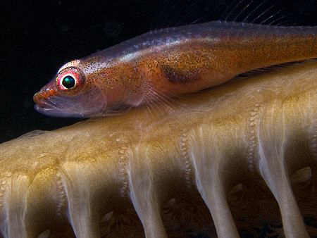 Goby on Sea-pen. East of Dili, East Timor by Doug Anderson