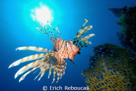 Red Sea Lionfish.