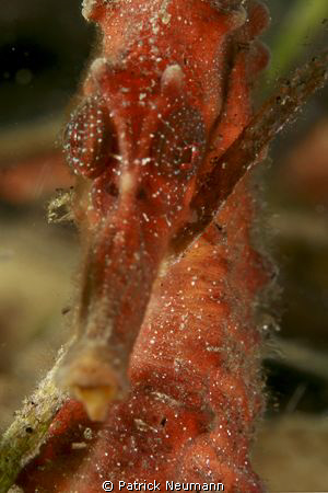 Red Seahorse close up taken with Canon 400D/Hugyfot + Mac... by Patrick Neumann 