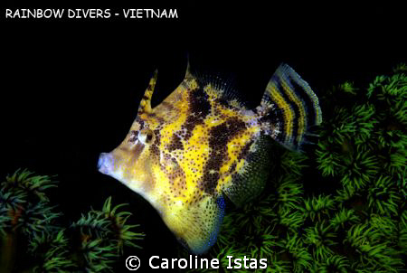 Filefish by Caroline Istas