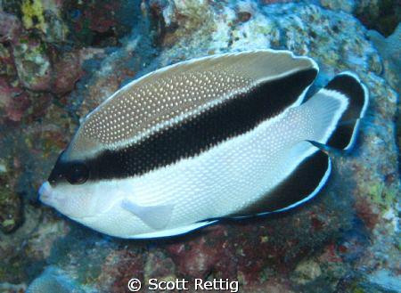 Banded Angelfish     Big Island      Cropped by Scott Rettig