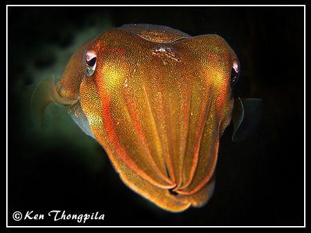 Cuttlefish at Bare Island. Sydney, Australia by Ken Thongpila