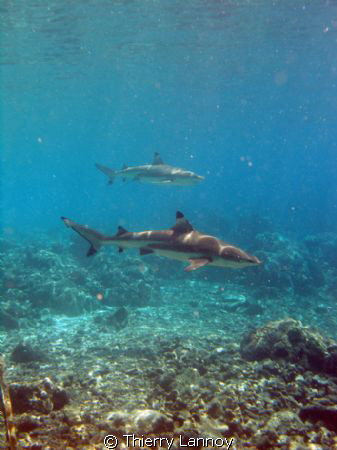 Black tip and silver tip in the Pass of Fakarava by Thierry Lannoy