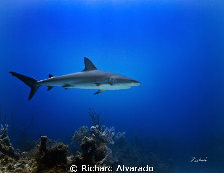 "Reef shark taken at ""Danger Reef"", Bahamas with Canon 40D... by Richard Alvarado"