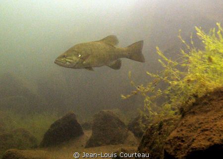 """The Boss""   a smallmouth bass inspects it's territory by Jean-Louis Courteau"