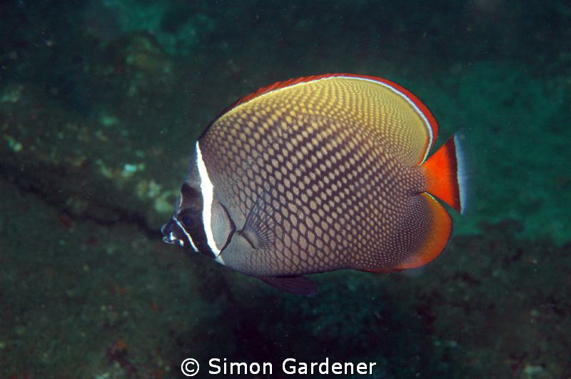 butterfly fish shot with Nikon D70s and 135mm macro lens ... by Simon Gardener