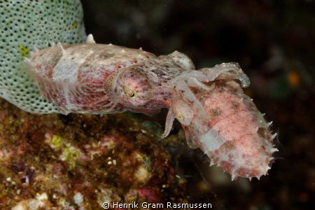 Mating Cuttlefish - taken at Sangie Islands. by Henrik Gram Rasmussen