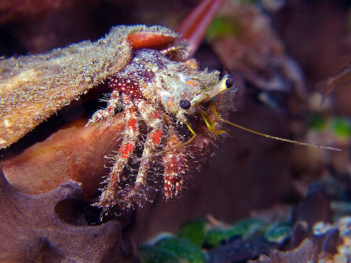 Hermit crab, Dili by Doug Anderson
