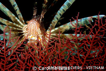 Lionfish on Whale Island, Rainbow Divers, Vietnam. by Caroline Istas
