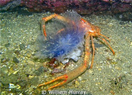 Squat lobster having a jelly supper. This image was taken... by William Murray
