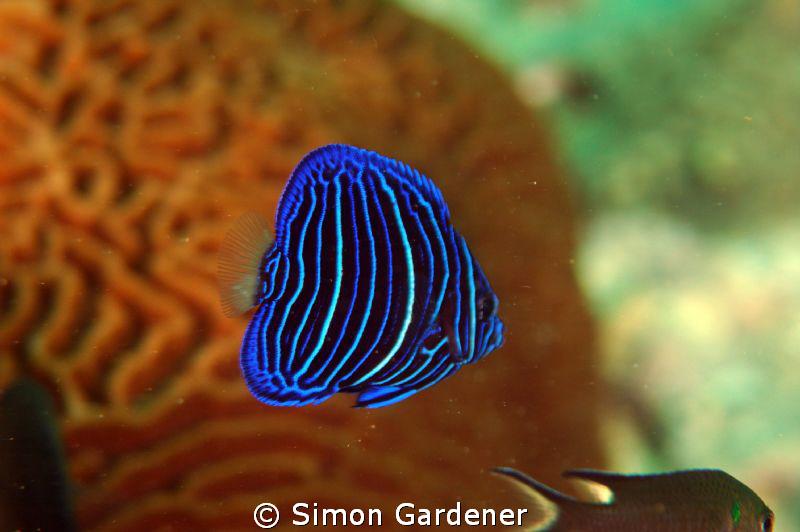 juvenile yellow bar angel fish  shot today Nikon D70s and... by Simon Gardener
