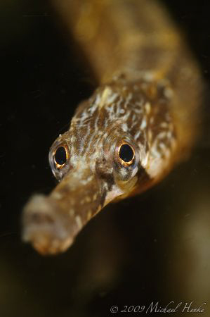 """Greater pipefish"" (Syngnathus acus) with Nikon D300, Nik... by Michael Henke"