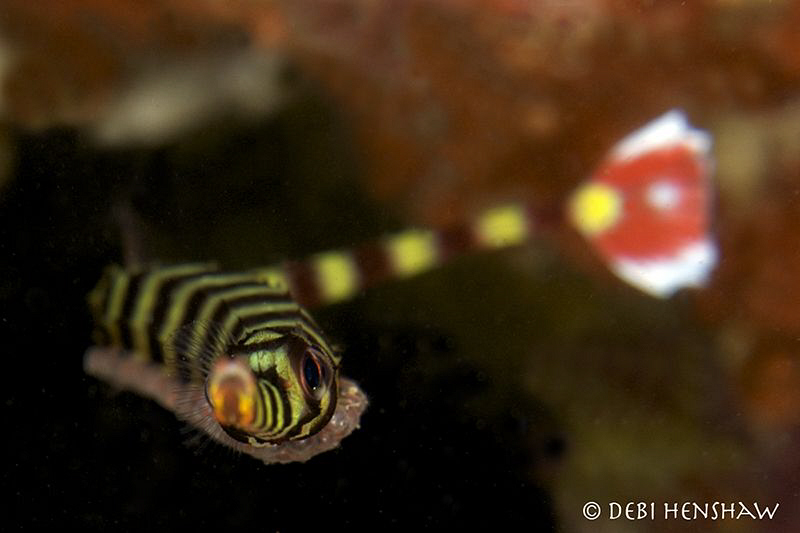 """""""Egg Cargo"""" Banded Pipefish carrying his cargo of preciou... by Debi Henshaw"""
