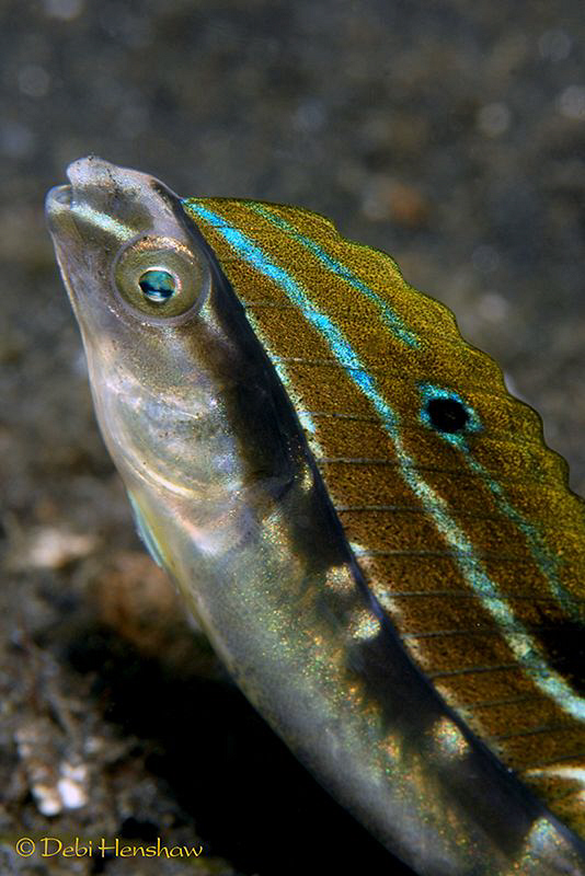 Snake Blenny found in Lembeh by Debi Henshaw