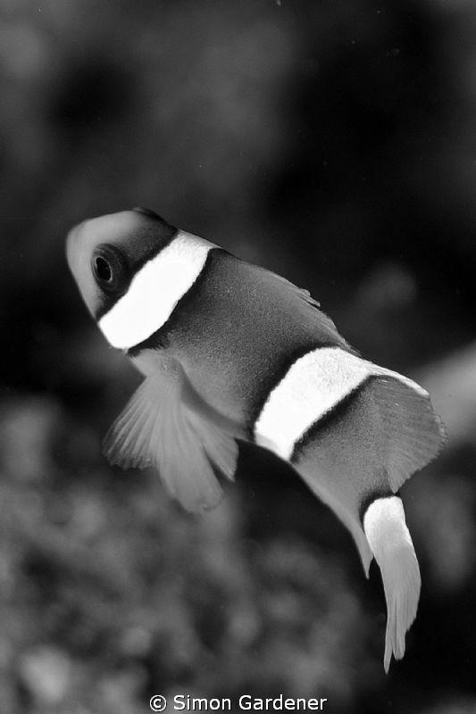 Nemo shot with Nikon D70s and 135 macro lens by Simon Gardener