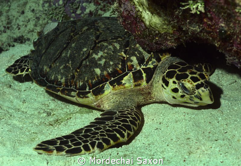 Sea Turtle by Mordechai Saxon