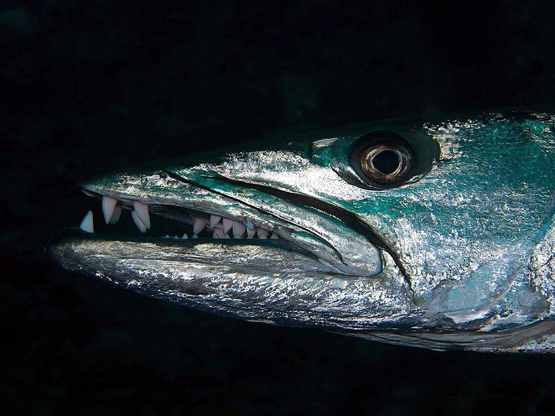 Great Barracuda, Tulamben by Doug Anderson
