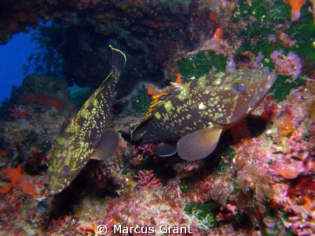 Taken in very shallow water At the populat dive site of C... by Marcus Grant