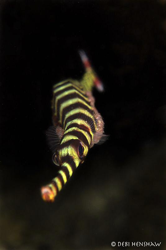 Classic Behaviour - Banded Pipefish with his cake of eggs... by Debi Henshaw