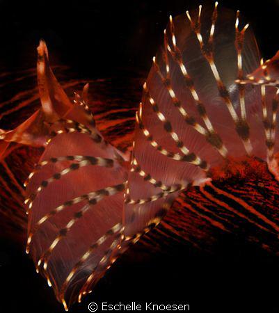 Lion fish, dorsal. by Eschelle Knoesen