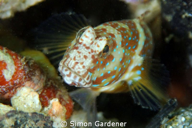 luthers shrimp goby shot with nikon D70s and 135 macro le... by Simon Gardener