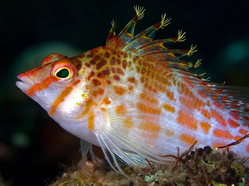 Pixie Hawkfish. East of Dili, East Timor by Doug Anderson