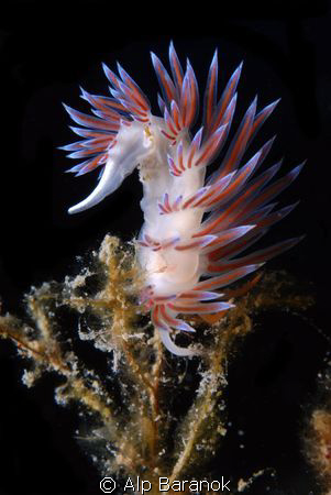 Nudibranch from Bodrum/Turkiye by Alp Baranok 