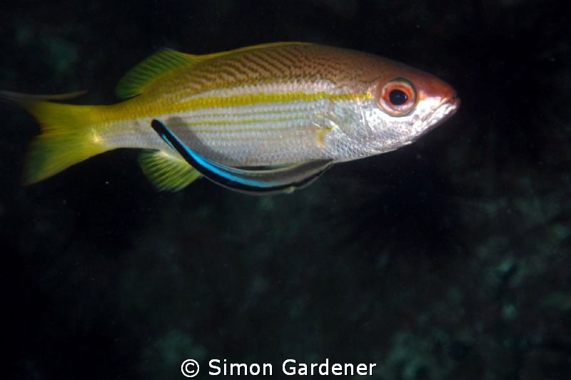 cleaning time, big eyed snapper and cleaner wrasse. by Simon Gardener