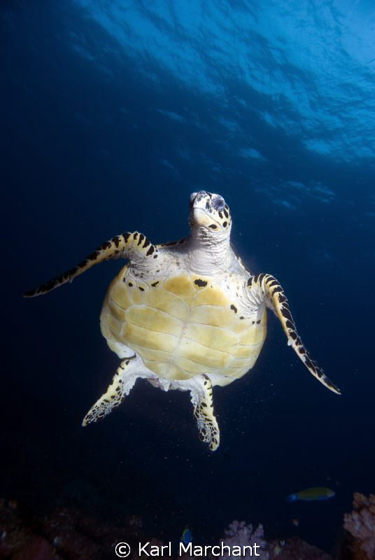 Hawksbill Turtle in Free fall. by Karl Marchant