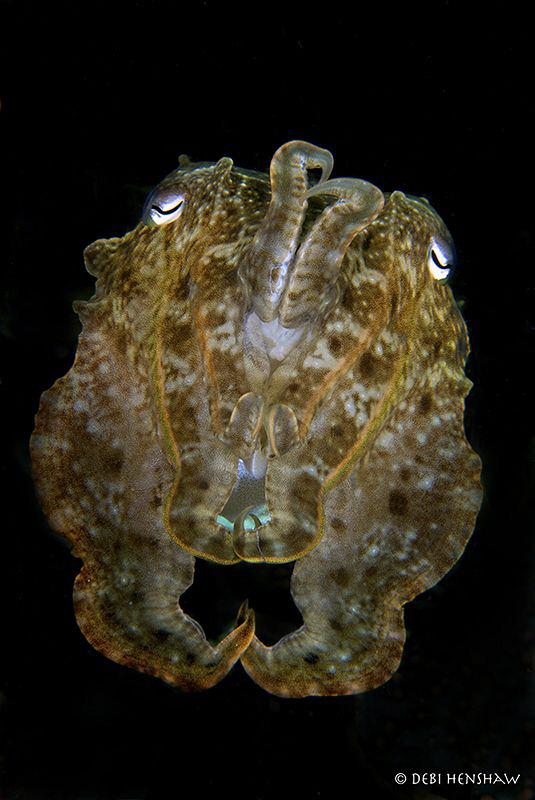 """Staring me Out"" Broadclub Cuttlefish in Manado by Debi Henshaw"