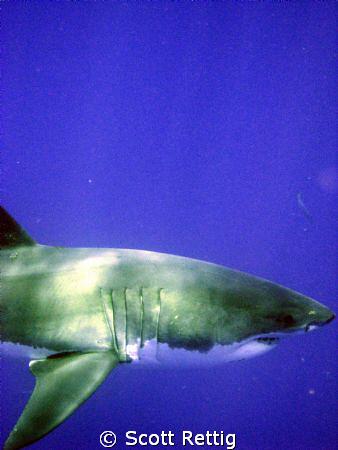 My buddy, the Great White Shark.. Isla Guadalupe.        ... by Scott Rettig