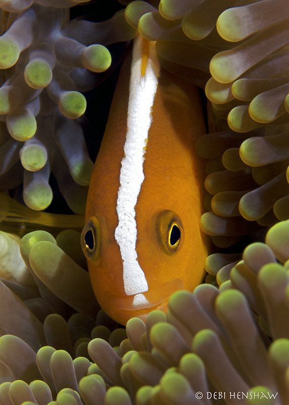 """Skunk Anemonefish"" by Debi Henshaw"