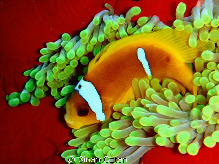 Anemone fish in its anemone. by Sinan Oztan