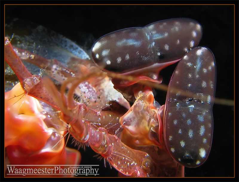 Eyes of a Spearing Mantis Shrimp, considered to be the mo... by Marco Waagmeester